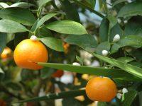 Arbre fruitier. Oranger