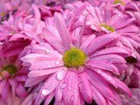 Fleurs avec gouttes d'eau.Gros plan sur une fleur rose.