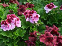 Fleurs chez Charbonneau L'Expert.Gros plan sur des fleurs roses et magenta