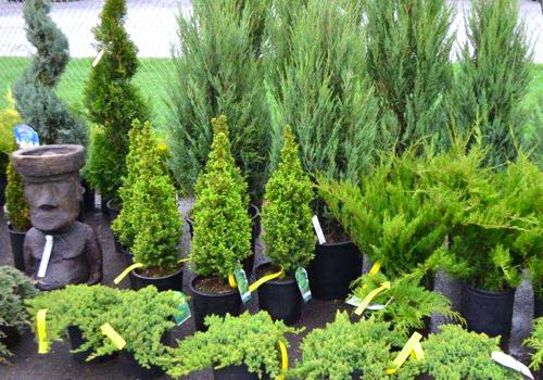 Arbustes et arbres en pot