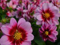 fleurs_annuelles_charbonneau_l_expert3