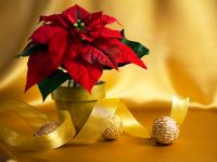 Plante de Noël chez Charbonneau l'Expert