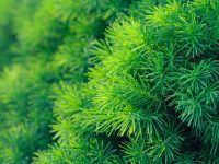 Background from conifer evergreen tree branches texture