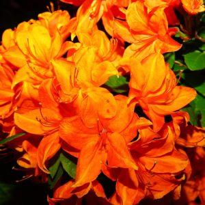 Azalée Mandarin Lights