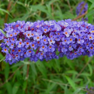 Arbuste aux papillons « Nanho Blue »