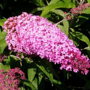 Arbuste aux papillons « Pink Delight »