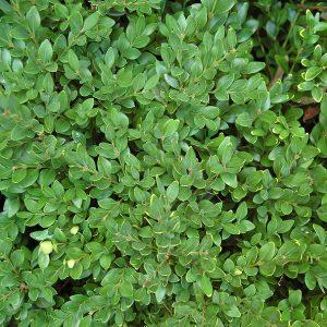 Buis à petites feuilles « Green Velvet »