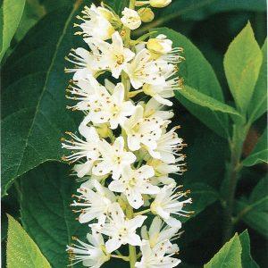 Clèthre à feuilles d'aulne « Vanilla Spice »