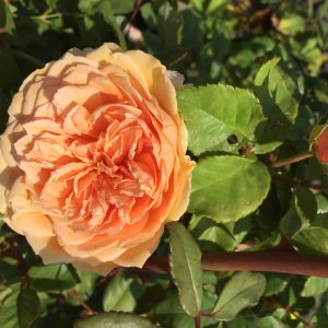 Rosier «Crown Princess Margareta»