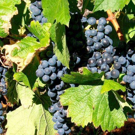 Vigne à raisins « Montreal Blue »