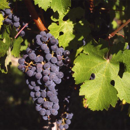 Vigne à raisins « Sainte-croix »