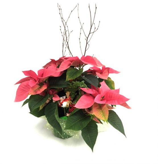 poinsettia rose de noel