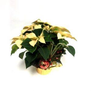 poinsettia blanc de noel décoré
