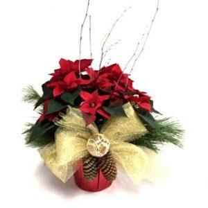 Poinsettia 7