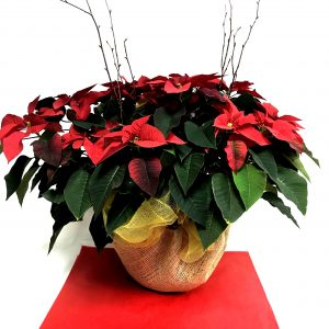 poinsettia rouge de noel