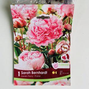 Bulbe Pivoine Sarah Bernhardt