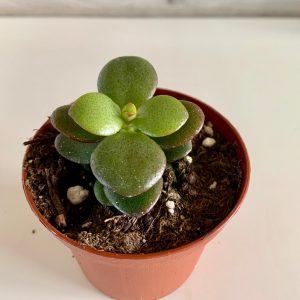 Crassula Baby Jade