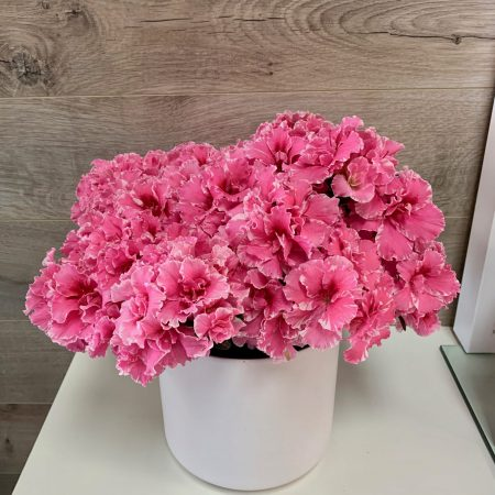 Azalea rose pâle
