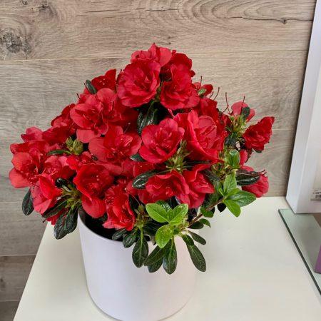 Azalea rouge