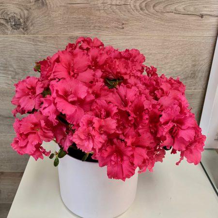 Azalea rose foncé