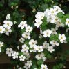 white bacopa blanc