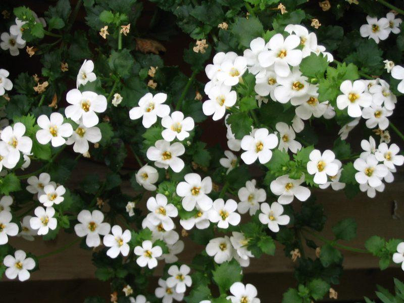 white bacopa blanc