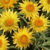 yellow bracteantha jaune