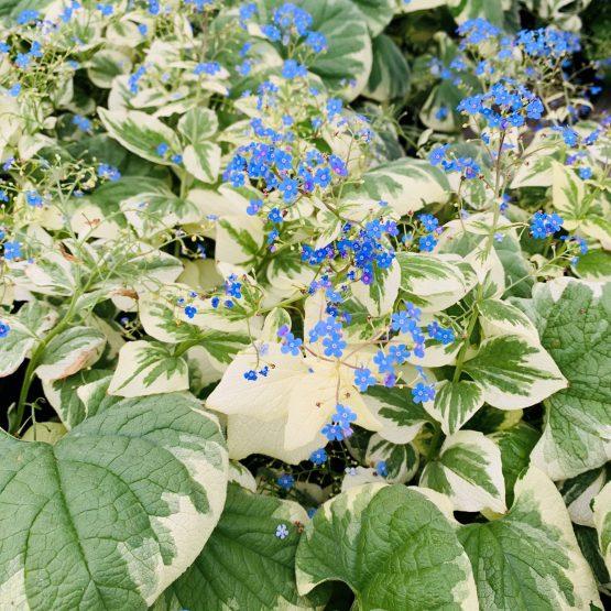 "Brunerra macrophylla ""Variegata"""
