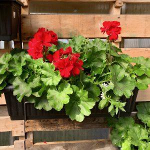Arrangement de géraniums rouges avec crochet