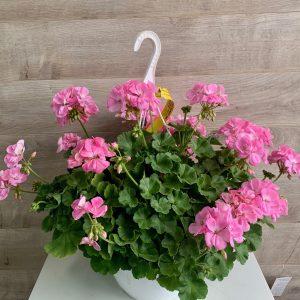 Panier suspendu de géraniums roses