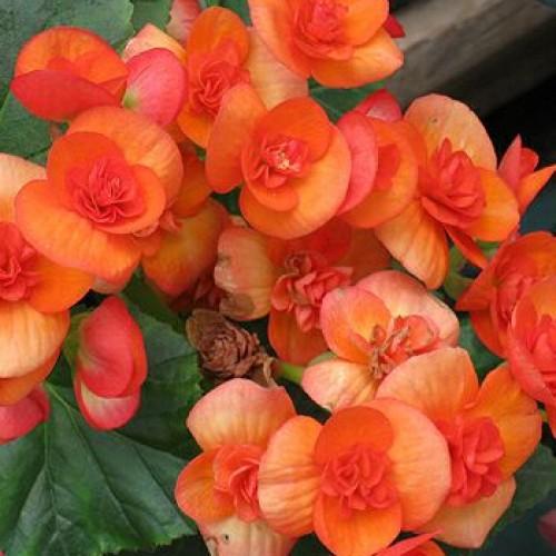 begonia rieger orange