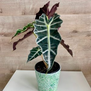 Alocasia Polly