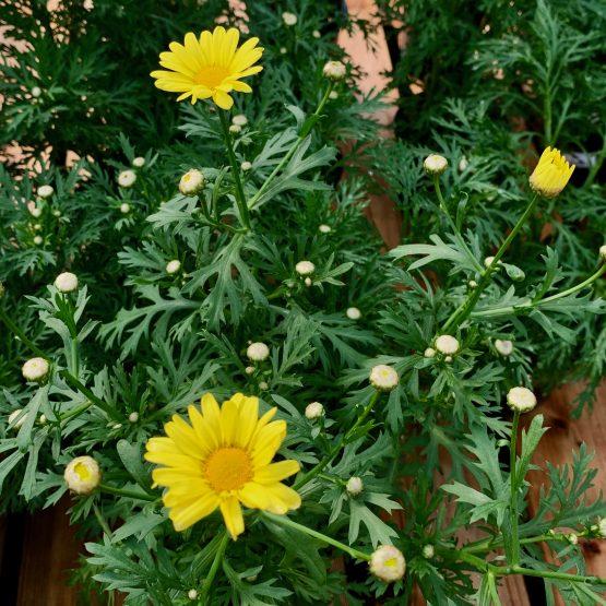 Argyranthemum Jaune