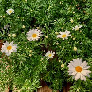 Argyranthemum pure white