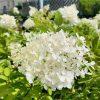 Grandiflora hydrangea