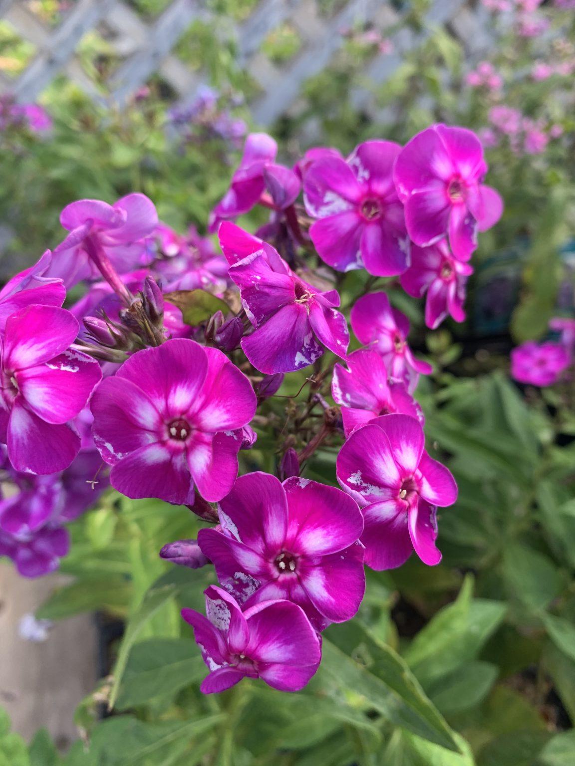 Purple Kiss phlox