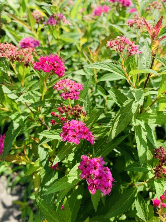Spirea neon flash