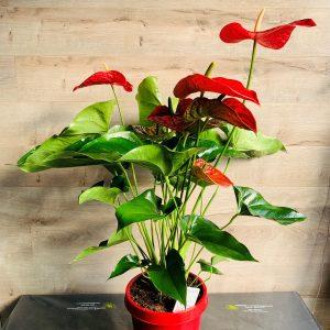 gros anthurium rouge