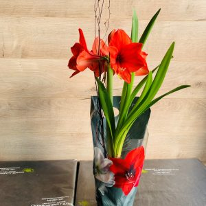 amaryllis rouge en pot