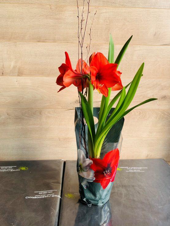 amaryllis rouge en pot