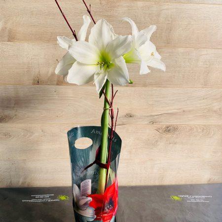 Amaryllis blanc en pot