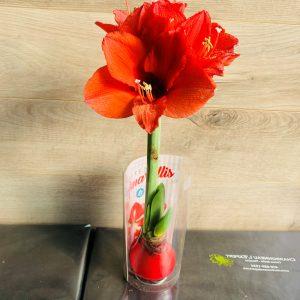 bulbe d'amaryllis rouge dans la cire