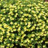 calibrachoa jaune million bells yellow