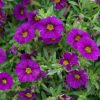 calibrachoa mauve million bells purple