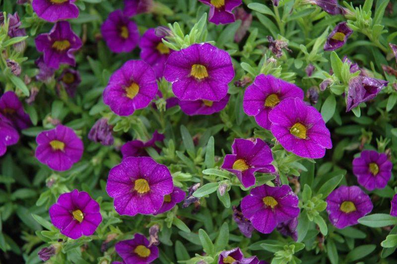 calibrachoa mauve million bells purple