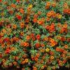 calibrachoa orange million bells