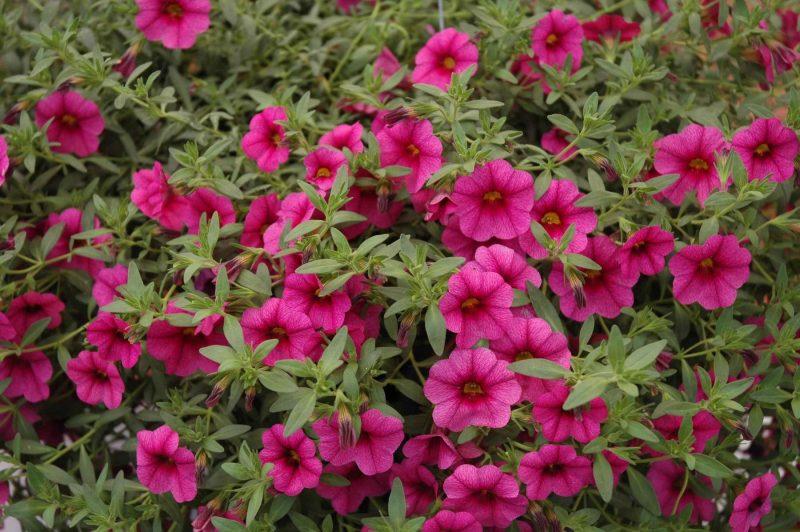 calibrachoa rose millions bells pink