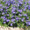 lobelia techno blue