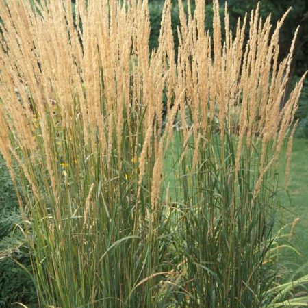Calamagrostis ''Karl Foerster''