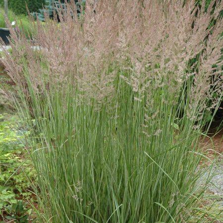 Calamagrostis ''Overdam''